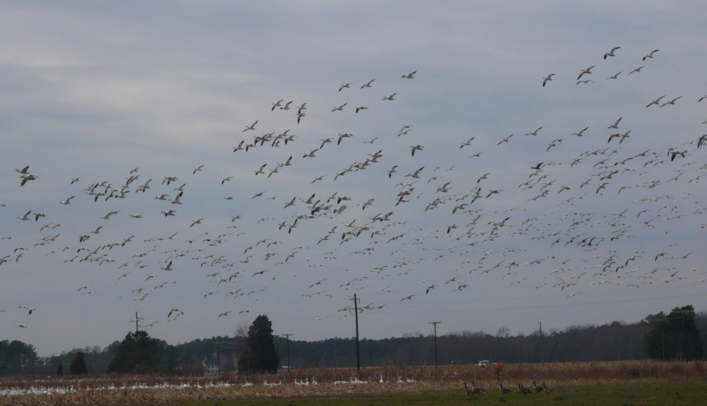 photo of snow geese @ Blackwater Wildlife Refuge