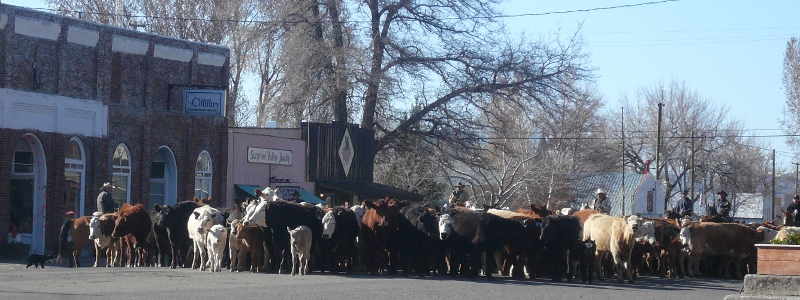 Image of cattle drive proceeding through the middle of a small town street.